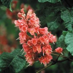 Red Chestnut Bach Flower Remedy