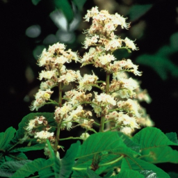 White Chestnut Bach Flower Remedy