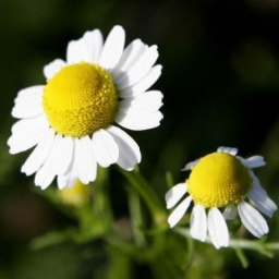 Chamomile Flower Remedy