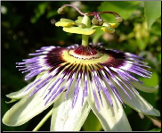 Passionflower Flower Remedy