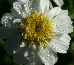 Feverfew Flower Remedy