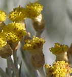 Helichrysum Flower Remedy