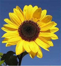 Sunflower Flower Remedy