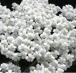 Yarrow Flower Remedy