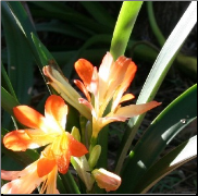 Clivia - Custom Flower Remedy