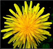 Dandelion Flower Remedy