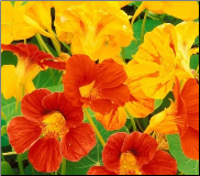 Nasturtium Flower Remedy