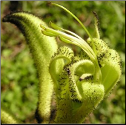Black Kangaroo Paw Flower Remedy