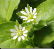 Chickweed Flower Remedy