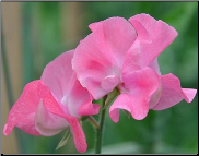 Sweet Pea Flower Remedy