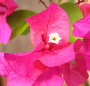 Bougainvillea Flower Remedy