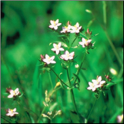 Centaury Bach Flower Remedy