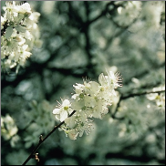 Cherry Plum Bach Flower Remedy