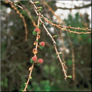 Larch Bach Flower Remedy
