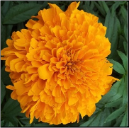 Marigold Flower Remedy