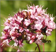 Marjoram Flower Remedy