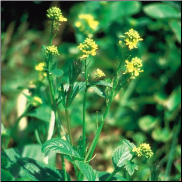 Mustard Bach Flower Remedy