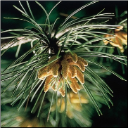Pine Bach Flower Remedy