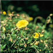 Rock Rose Bach Flower Remedy