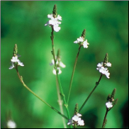 Vervain Bach Flower Remedy