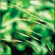 Wild Oat Bach Flower Remedy