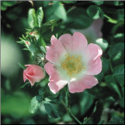 Wild Rose Bach Flower Remedy