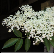 Elder Flower Remedy