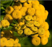 Tansy Flower Remedy